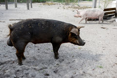 Male and female pig on a farm Stock Photo