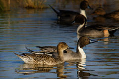 Male Female Pintails. A pair of Pintail Ducks, male and female swimming together Royalty Free Stock Image