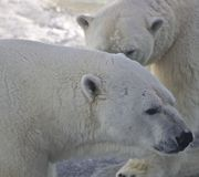 Male and female polar bear, Canada Royalty Free Stock Photography