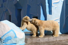 Male and female polar bears at the Novosibirsk zoo. Novosibirsk, RUSSIA - APRIL 13, 2017: Mating polar bears in the zoo on a spring day stock image