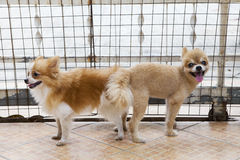 Male and female pomeranian dog mating Royalty Free Stock Photo