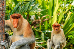 Male and female Proboscis Monkeys in the mangroves. Male and female Proboscis Monkeys in the mangrove area of rainforest stock images