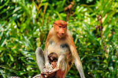 Male and female Proboscis Monkeys in the mangroves Stock Image
