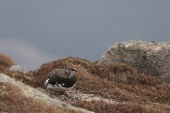 Ptarmigan Lagopus muta in spring moult perched and walking in the cairngorm national park, scotland royalty free stock images
