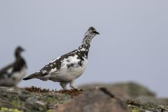 Ptarmigan Lagopus muta in spring moult perched and walking in the cairngorm national park, scotland stock images