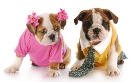Male and female puppy Stock Photo