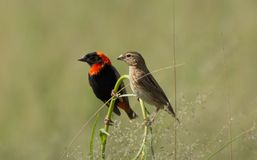 Male and Female Red Bishop Birds on perch Royalty Free Stock Image