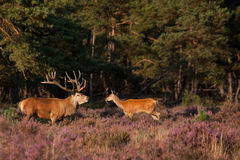 Male and female red-dear in mating-season Royalty Free Stock Images