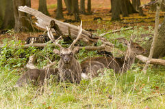 Male and Female red deer Royalty Free Stock Images