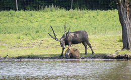 Male and female red deer Stock Image