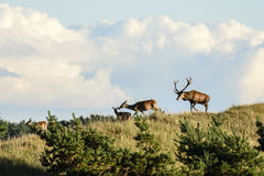 Male and female red deers Stock Photography