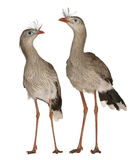 Male and Female Red-legged Seriema. Or Crested Cariama, Cariama cristata, standing in front of white background Stock Photos