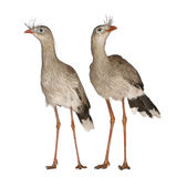 Male and Female Red-legged Seriema Stock Images