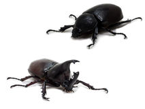 Male and Female Rhinoceros beetle Royalty Free Stock Photography