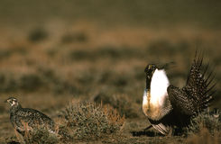 Male and Female Sage Grouse Royalty Free Stock Image