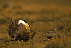 Male and Female Sage Grouse royalty free stock photography