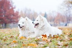 Male and female samoyed dogs in autumn park. Kiev, Ukraine Stock Photo
