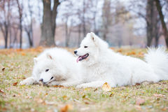 Male and female samoyed dogs in autumn park. Kiev, Ukraine Stock Photos