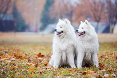 Male and female samoyed dogs in autumn park. Male and female samoyed dogs in autumn park, Kiev, Ukraine Stock Photo