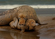 Male and Female Seals Royalty Free Stock Photo