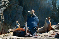 Male and Female Seals basking in the sun in Cabo San Lucas Lands End (Los Arcos) Mexico. MEX Royalty Free Stock Images