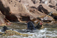 Male and female seals sea lion. While fighting in Baja California Royalty Free Stock Photo