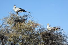A male and female secretary bird Stock Photography