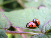 Male and female seven-spot ladybird Stock Images