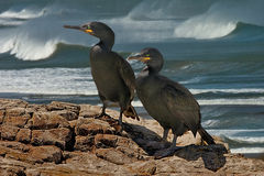 Male and female Shags. A male and a female Shag on the coast of South Wales Stock Image