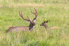 Male and female sika deer Royalty Free Stock Image