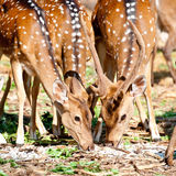 Male and female sika deer Stock Photography