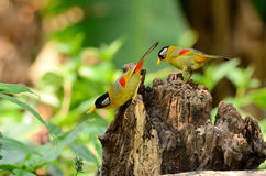 Male and female silver-eared mesia Royalty Free Stock Photography