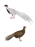 male and female silver pheasant Stock Images