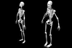 Male and Female Skeletons Royalty Free Stock Photos