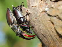 Male and female of stag beetle Stock Photography