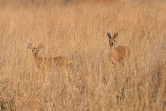 Male and Female Steenbock in Grass. Monogomous Couple of Steenbok Raphicerus campestris standing in grass, Namibia Stock Photography