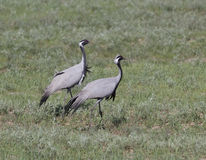 Male and female steppe crane. Male and female steppe Crane spring day Royalty Free Stock Image