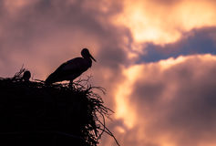 Male and female stork in the nest, Poland. Male and female stork at sunset in the nest - typical spring rural landscape in Podlasie, Poland Stock Photos