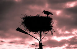 Male and female stork in the nest, Poland. Male and female stork at sunset in the nest - typical spring rural landscape in Podlasie, Poland Royalty Free Stock Image