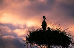 Male and female stork in the nest, Poland. Male and female stork at sunset in the nest - typical spring rural landscape in Podlasie, Poland Royalty Free Stock Photography
