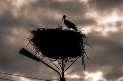 Male and female stork in the nest, Poland. Male and female stork at sunset in the nest - typical spring rural landscape in Podlasie, Poland Stock Image