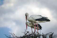 Male and female stork in the nest, Poland. Male and female stork in the nest - typical spring rural landscape in Poland Royalty Free Stock Images