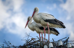 Male and female stork in the nest, Poland. Male and female stork in the nest - typical spring rural landscape in Poland Stock Photography