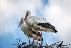 Male and female stork in the nest, Poland. Male and female stork in the nest - typical spring rural landscape in Poland Royalty Free Stock Photo