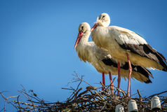 Male and female stork in the nest, Poland. Male and female stork in the nest - typical spring rural landscape in Poland Stock Image