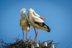Male and female stork in the nest, Poland Stock Image