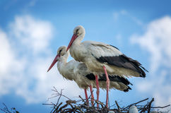 Male and female stork in the nest, Poland Stock Photography