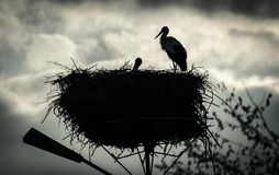Male and female stork in the nest, Poland. Male and female stork in the nest - typical spring rural landscape in Podlasie, Poland Royalty Free Stock Photos