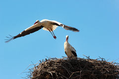 Male and female storks in the nest.  Royalty Free Stock Image