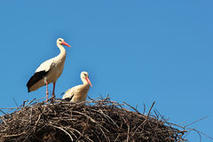 Male and female storks in the nest Stock Photo